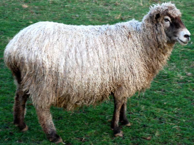 Wheat Romney Cross Handspun Yarn