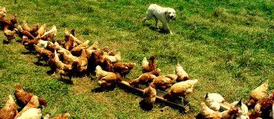 Everyone Loves Free Range Chicken