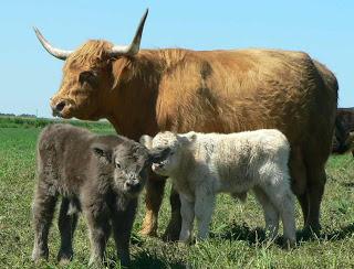 Highland Babies