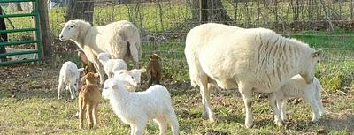 Farm News: Sheep