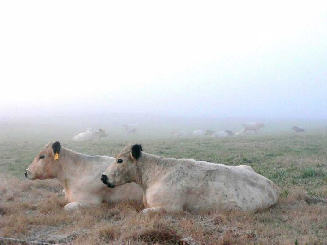 cows in a mist
