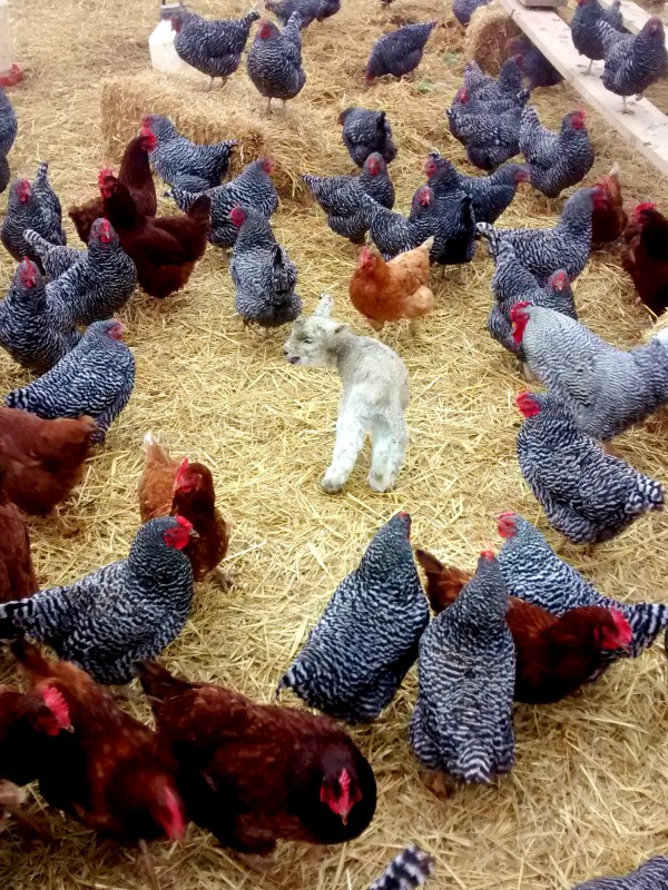 new lamb and hens