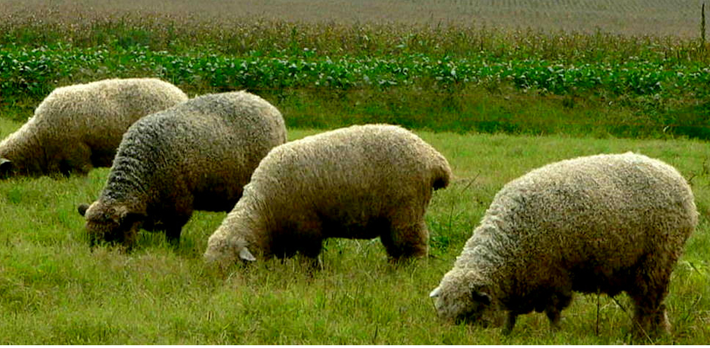 Grass Fed Sheep 101