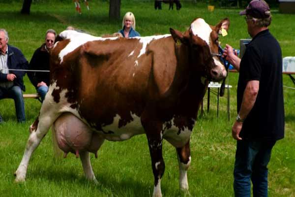 600x400-holstein-2-cow