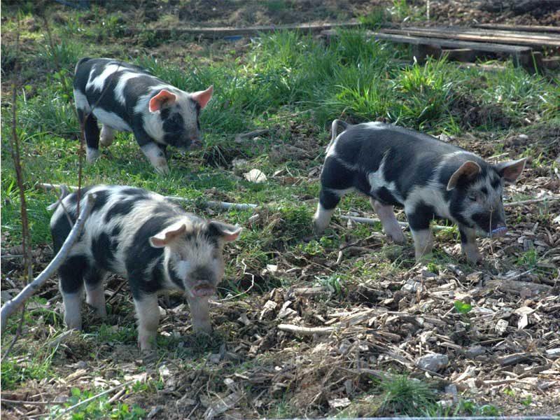 pigs-in-bee-habitat