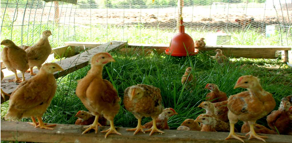 All About Pastured Poultry